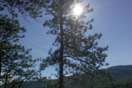 Sun coming through tall pine tree